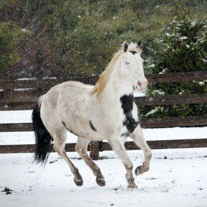Islandske heste har to gangarter mere end normale heste, disse hedder tølt og pas.