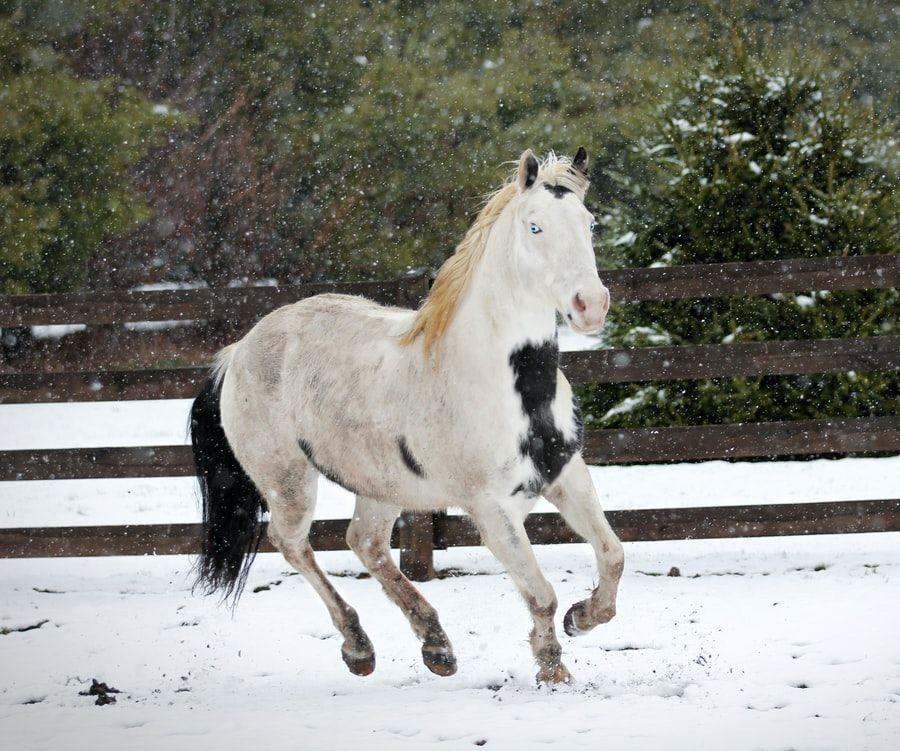 Islandsk hest gangarter 1