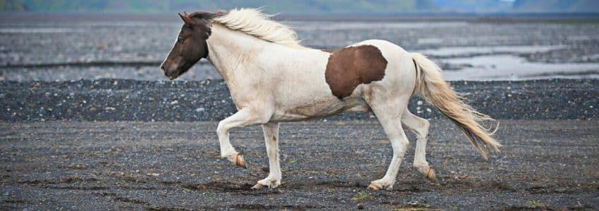 Islandske heste har deres helt egne former for gangarter.